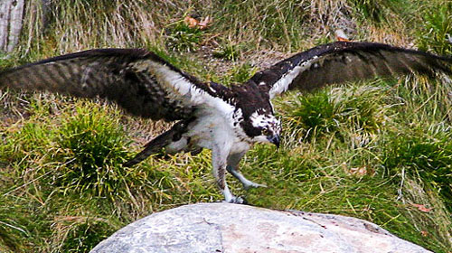 Eagle landing on a rock, wings outstretched