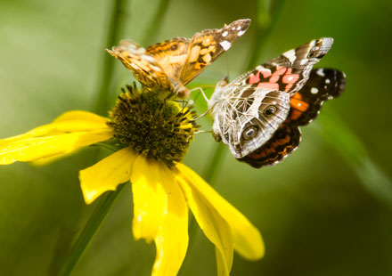 Two Butterflies on a Daisy
