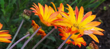 Orange Daisy-like Flowers